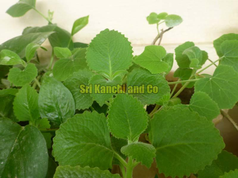 Omavalli Plant