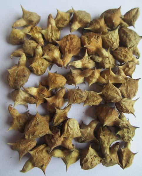 cissus quadrangularis proprietary ketosteroid extract