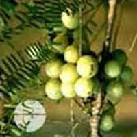 Bhumi Amla Extract