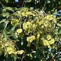 Pterocarpus Marsupium