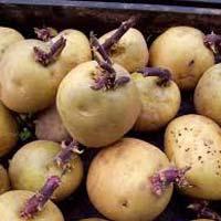 Radical Potato Seeds