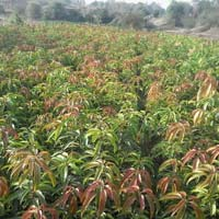 Mangoes Plant
