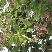 Bauhinia Purpurea