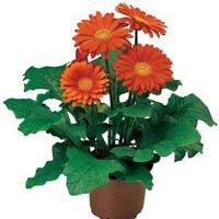 Gerbera Daisy Plants