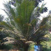 Palm Cicus Circinalis