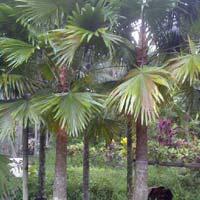 Palm Livistona Chinensis