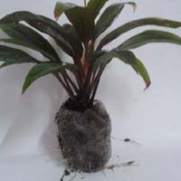 Sapling Plant 04