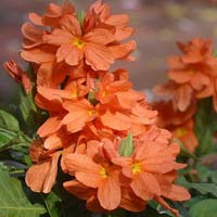 Fresh Crossandra Cut Flower