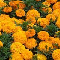 Fresh Marigold Flower