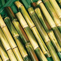 Sugar Cane Sticks