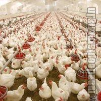 Poultry Farming Services
