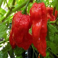 King Red Chilli