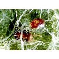 Verticillium Lecanii