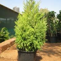 Cupressus Plants