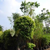 Ficus Golden