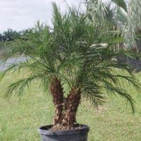Pheonix Palm