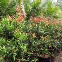 Syzygium Campanulatum