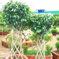 Topiary Plants