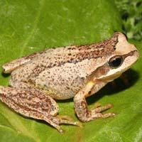 Brown Tree Frog Ensay