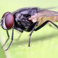 Housefly On A Leaf Crop