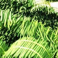 Fresh Moringa Sticks
