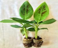 Tissue Culture Grand Nain Banana Plants