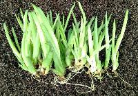 Tissue Culture Aloe Vera Plant 01