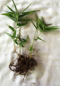 Tissue Culture Bambusa Balcooa Plant 03