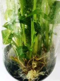 Tissue Culture Ginger Plant 02