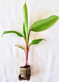 Tissue Culture Red Banana Plant 02
