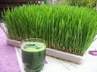 Wheatgrass Juice 04
