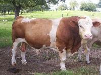 Live Simmental Bulls