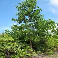 Acacia Mangium Plants
