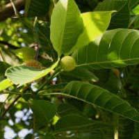Adina Cordifolia Plants