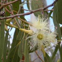 Eucalyptus Plants