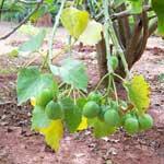 Jatropha Fruits