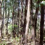 Medicinal Trees