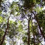 Pulp Wood Species