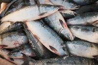 Frozen Salmon Fishes