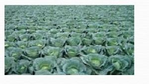 Organic Vegetable Farming 04