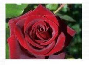 Rose Flower Farming 01
