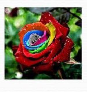 Rose Flower Farming 06