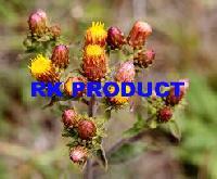 Fresh Spikenard Flowers