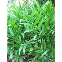 Areca Srivardhini Plants