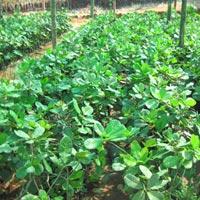 Cashew Nut Plants 01