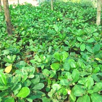 Cashew Nut Plants 02