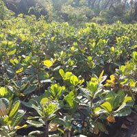 Cashew Nut Plants 03