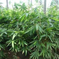 Bambusa Plants