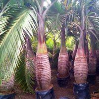Champion Palm