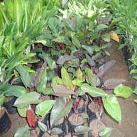 Philodendron Black Cardinal